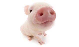 猪,断奶猪